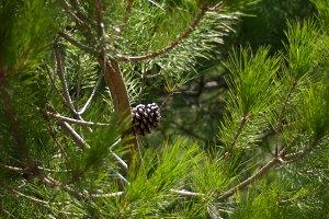 Pine Tree Textures