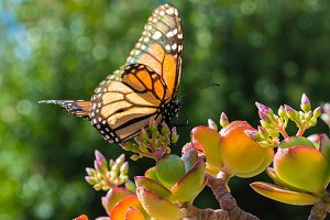 Monarch Butterfly on Jade Plant