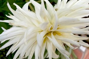 White natural dahlia in the garden