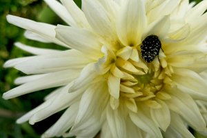 White dahlia and insect