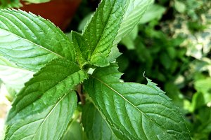 Mint leaf gnawed by an insect