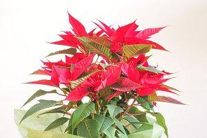 Christmas star Poinsettia