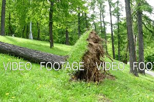 Hurricane - a fallen tree with a root