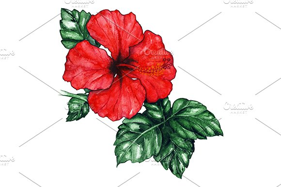 Watercolor red hibiscus flower plant