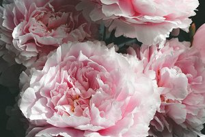 40% OFF SALE Pink Peony Pack (of 3)