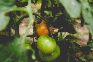 Tomato, faded vintage look