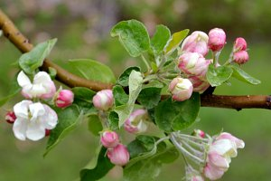 Apple tree blossom in spring
