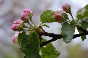 Buds of apple tree after the rain