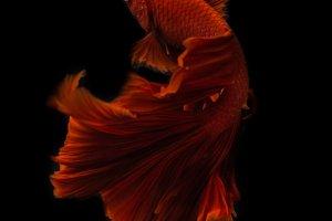 Siamese Fighting fish betta fine art
