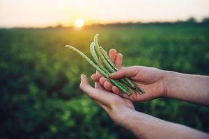 Farmer holding bean crop in hands