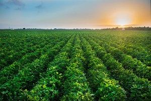Green bean crop field on farm