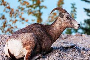 Goat in Banff, Alberta