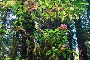 California Redwood Canopy