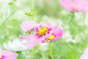 insect and pink cosmos flowers