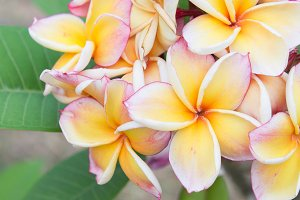 plumeria flowers beautiful
