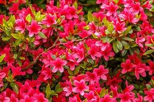 Floral background of azalea