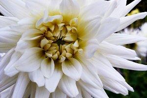 White elegant dahlia