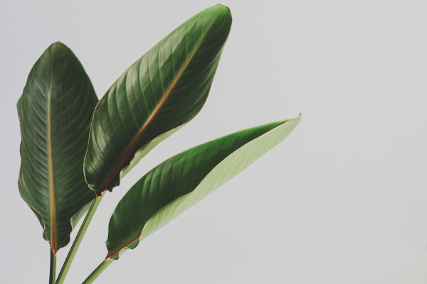 Tropical Leaves Stock Photo Containing Forest Leaves And Large Jungle Leaves High Quality Nature Stock Photos Creative Market This is the continuous area formed by the branches and leaves of most of. tropical leaves stock photo containing forest leaves and large jungle leaves