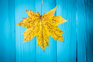 beautiful yellow autumn leaf on old blue wooden background