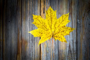 beautiful yellow autumn leaf on old wooden background