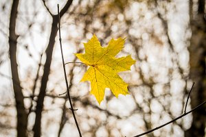 beautiful yellow leaf weighs himself on a branch