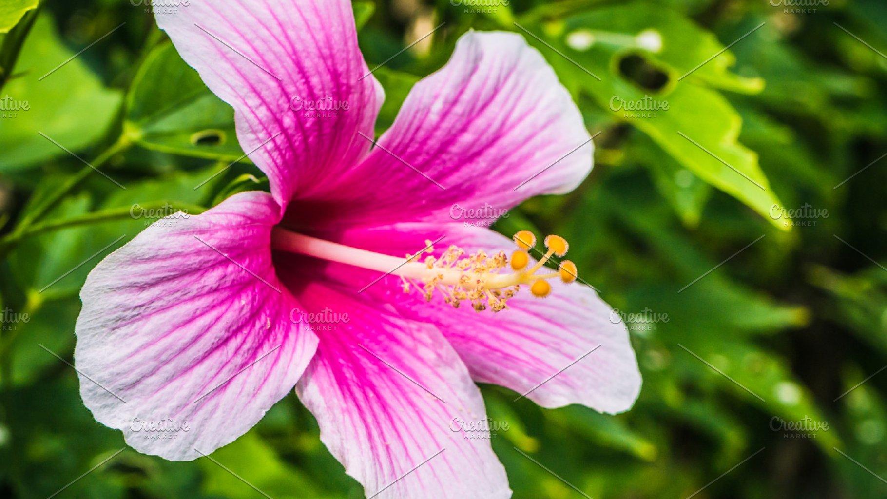 Hibiscus Rosa Sinensis Beautiful Bright Coloured Tropical Flower