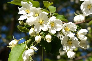Flowers of pear tree in sunny day