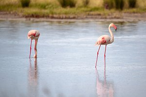 Group of flamingos eating II