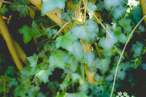 Ivy plants background