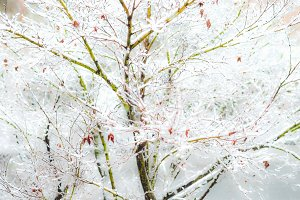Winter scene with snow - acer tree