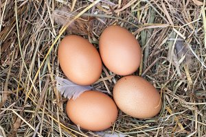 four chicken eggs lying in the nest of straw. Top view