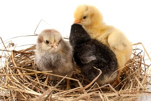 two baby chicken in the straw nest on white background
