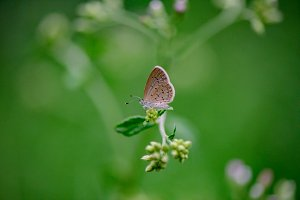Tropis Small Blue Butterfly