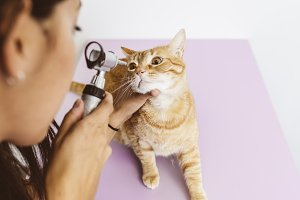 Doctor is making check up a cat.
