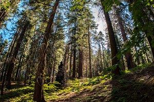 Tuolumne grove path