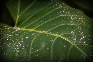 Water Droplets on Tropical Leaf