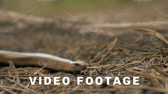 Limbless Lizard Look Like A Snake Slowmotion 180 Fps Close Up Shot