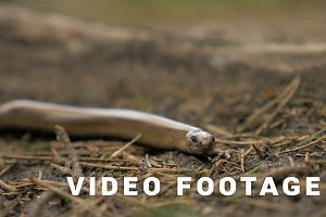 Limbless lizard look like a snake. Slowmotion 180 fps close up shot