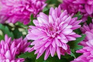 Purple chrysanthemum flowers.