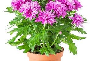 Purple chrysanthemum in flowerpot