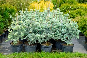 Fir trees in pots for sale.