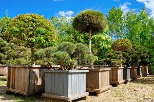 Pine, fir, garden trees and bonsai