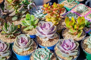 Succulent plants in flowerpots.