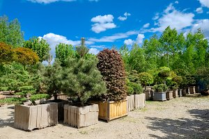Pine and fir in pots and bonsai tree
