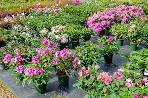 Rhododendron flowers in pots