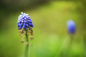 hyacinth blue flower