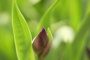 iris bud spring photo on summer garden background