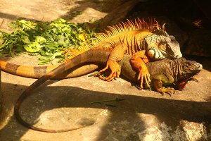 iguana couple copulating