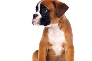 Cute boxer puppy