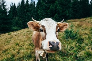 Funny cow on a meadow in forest.